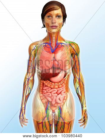 Lymphatic, Skeletal, Nervous And Circulatory System Of Female Body Artwork