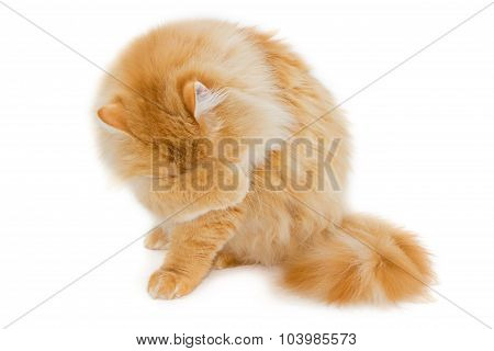 Red Cat On A Light Background