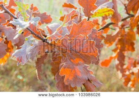 Oak Branch With Yellow Leaves Covered With Rime