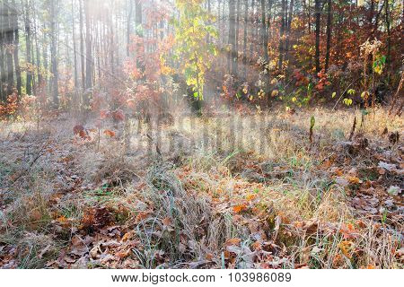 Glade In A Pine Forest With Rays Of Sunshine