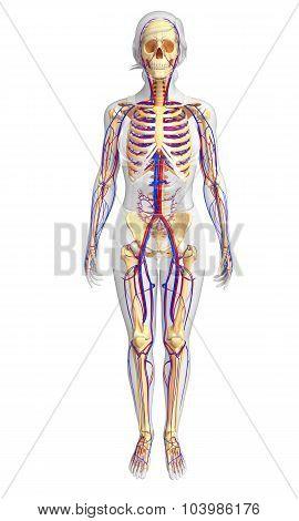 Female Skeletal Circulatory System