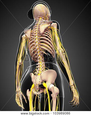 Nervous System And Female Skeleton Artwork