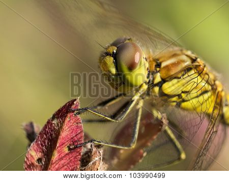 Portrait of dragonfly