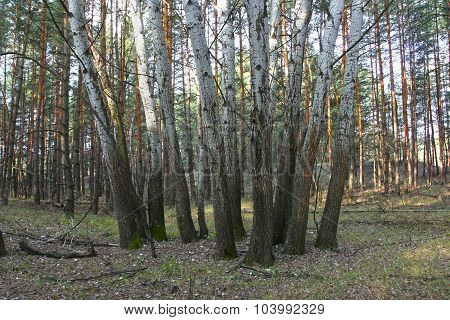 Group Of Aspen On A Background Of Pine Forest