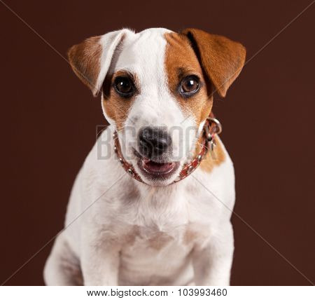 Dog with resentment looking at the camera. Humor. Puppy at brown background