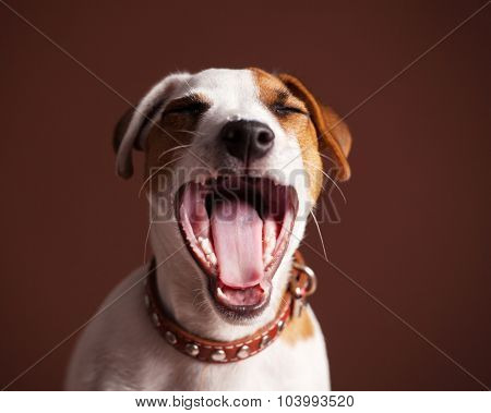 Laughing happy dog. Fun Puppy at brown background
