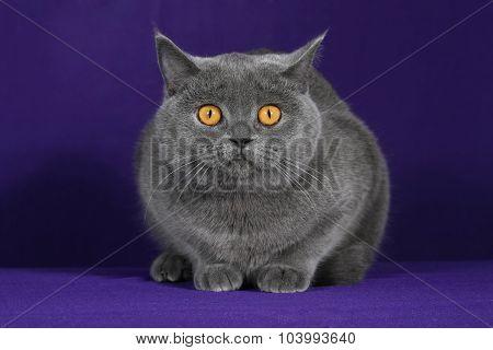 Studio Portrait Of A Cat On A Purple Blue Background