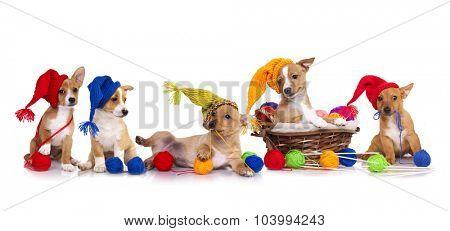 Portuguese Podengo puppy in gnome hat