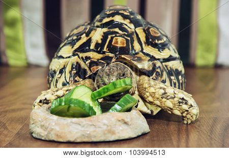 Cute Leopard Tortoise Is Feeding Green Cucumber