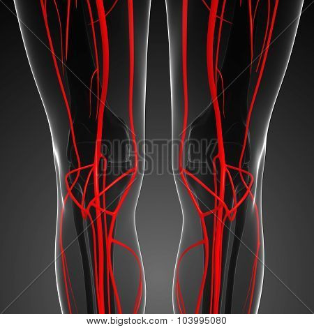 Human Knee Arterial System