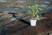 foto of scoria  - Green Ficus in a white pot among the stony desert - JPG