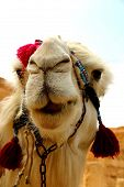 picture of euphrat  - laughing camel at ancient palmyra in syria - JPG