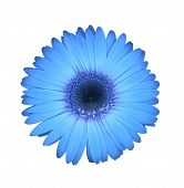 foto of gerbera daisy  - this surreal blue gerbera daisy is great for happy sunny themes - JPG