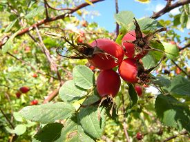 picture of foursome  - Foursome ripe rosehips on a large rosehip bush