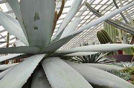 picture of century plant  - Close up of huge agave plants in Flower Dome at Gardens by the Bay Singapore - JPG