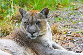 foto of cougar  - Cougar or Puma (Puma concolor) portrait in the grass
