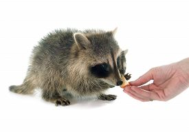 foto of raccoon  - young raccoon in front of white background - JPG