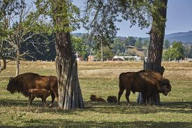 pic of calf cow  - European bisons  - JPG