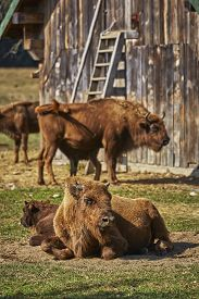 picture of female buffalo  - Tranquil European bison  - JPG