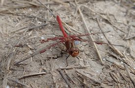 stock photo of parasite  - A dragonfly with a lot of parasites on its wings - JPG