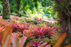 picture of bromeliad  - Beautiful Garden of colorful bromeliads, landscape, Thailand.