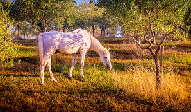 picture of feeding horse  - White wild horse feeding in olive orchard in Tuscany - JPG