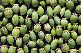 image of opiate  - Closeup of green opium poppy heads background  - JPG
