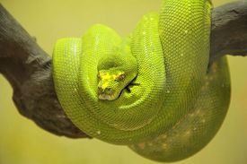 picture of green snake  - A green skined snake resting on a tree branch