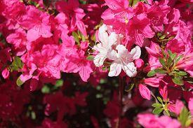 stock photo of azalea  - White Azalea flowers on a pink bush - JPG
