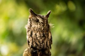 stock photo of owl eyes  - An injured screen owl that is missing an eye during a live raptor show - JPG