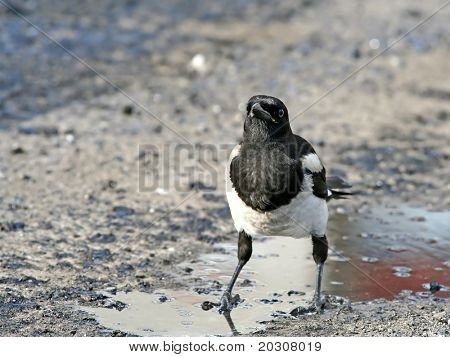 Impudent and mean magpie, standing in an oil pool.