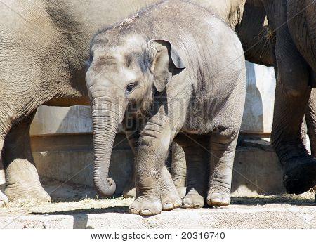 O bezerro pequeno elefante de perto