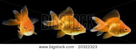 Series of red ryukin goldfish swimming against black background.