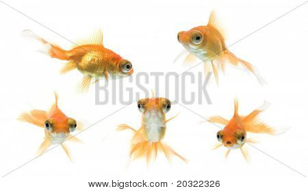 Serie de demekin goldfish nadando contra el fondo blanco.