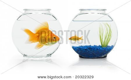 Large ryukin goldfish eyeing small comet-tail goldfish's nicer fish bowl.