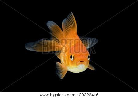 Red ryukin goldfish swimming against black background.