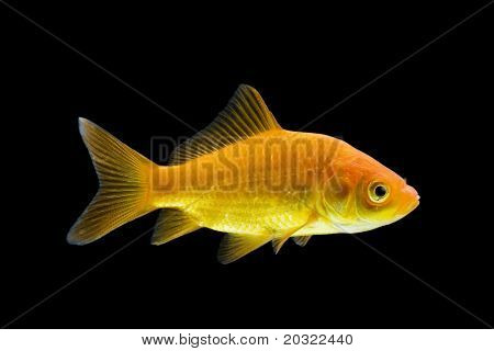 Sideview of comet-tailed goldfish swimming against black background.