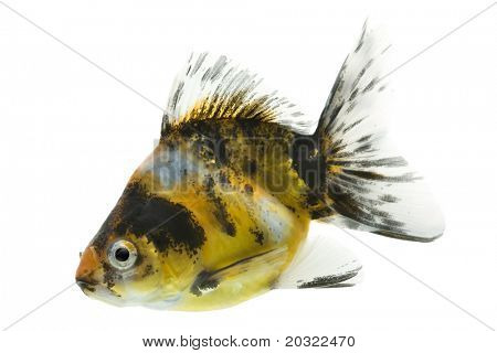 Sideview of calico ryukin goldfish swimming against white background.