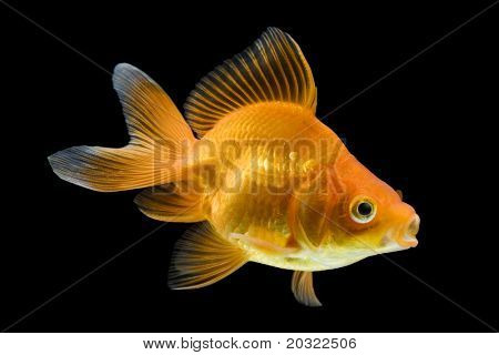 Sideview of ryukin goldfish swimming against black background.
