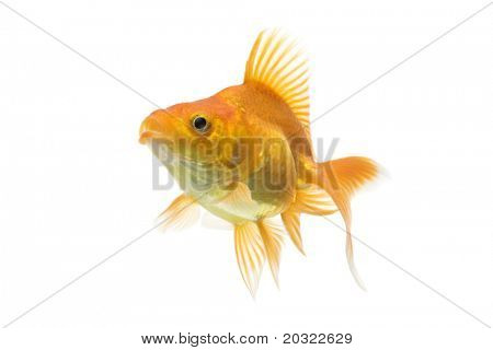 Red ryukin goldfish swimming against white background.