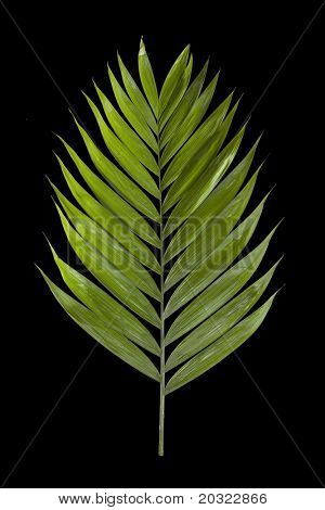 Palm leaf isolated on a black background