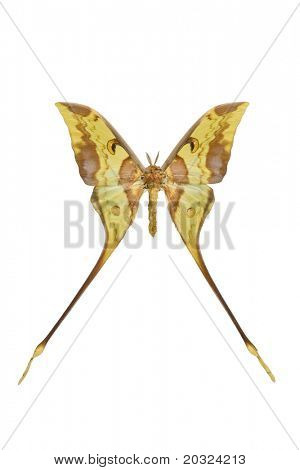 Top view of a giant silk moth from indonesia isolated on a white background
