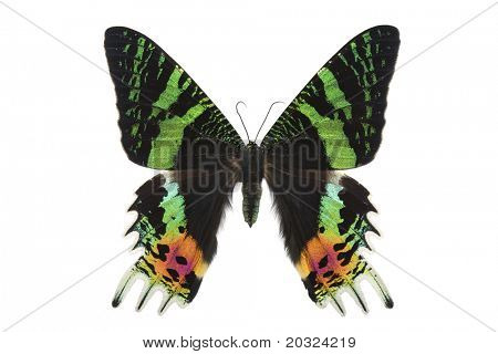 Top view of a large female day flying moth from madagascar isolated on a white background