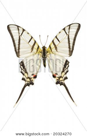 Top view of a Swallowtail butterfly (Eurytides protesilaus) originating from Peru isolated on a white background