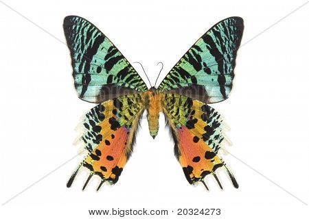 Bottom view of a large female day flying moth from madagascar isolated on a white background