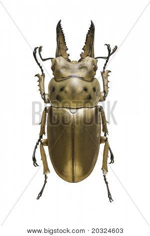 Top view of a bronze metallic Stag Beetle (Allotopus rosenbergi) from the Lucanidae family originating from Indonesia