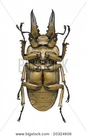 Bottom view of a bronze metallic Stag Beetle (Allotopus rosenbergi) from the Lucanidae family originating from Indonesia