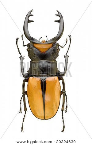 Top view of large beetle (From the Lucanidae family) with long jaws originating from Indonesia