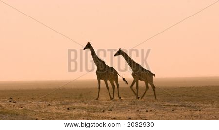 Giraffes In The Dust