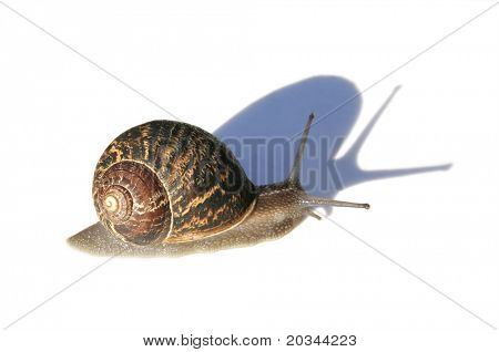 Snail with Shadow